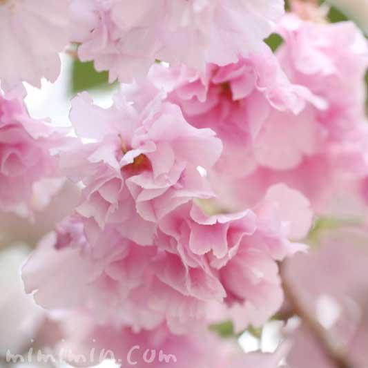 八重桜の写真 花言葉 誕生花の画像