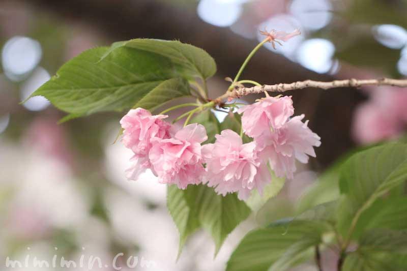 八重桜|花の写真・花言葉・誕生花の画像