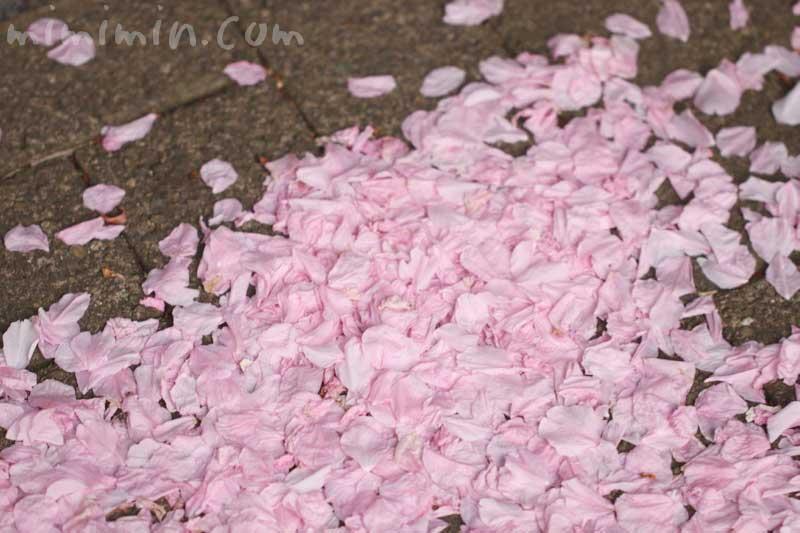 散った八重桜の花びらの写真