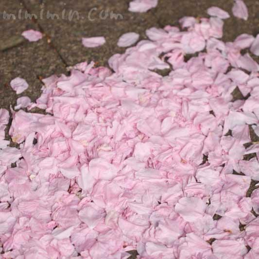 散ったヤエザクラの花びらの画像