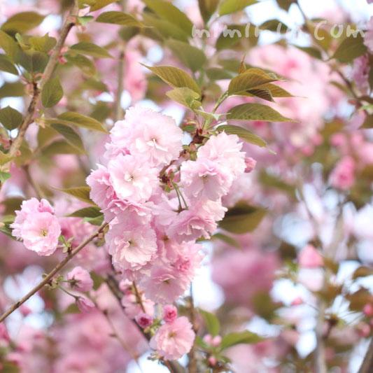 ピンクのヤエザクラの画像
