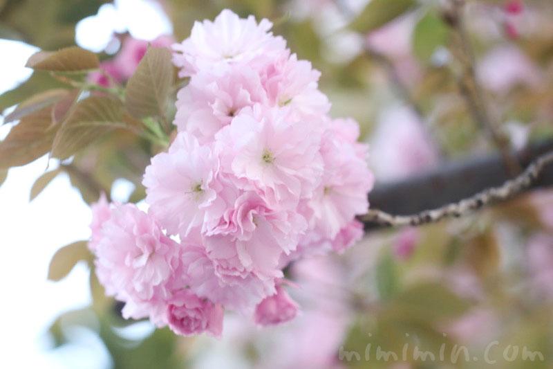 八重桜の画像