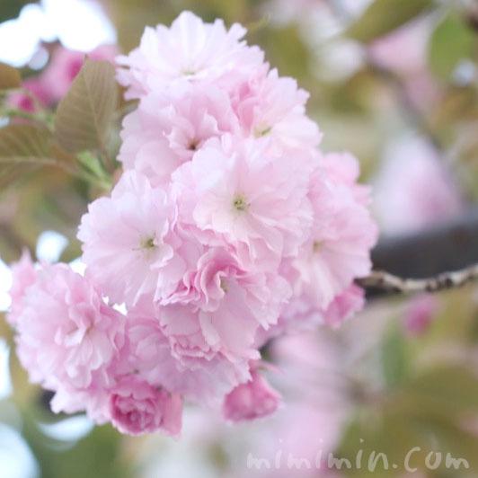 ヤエザクラの花の画像