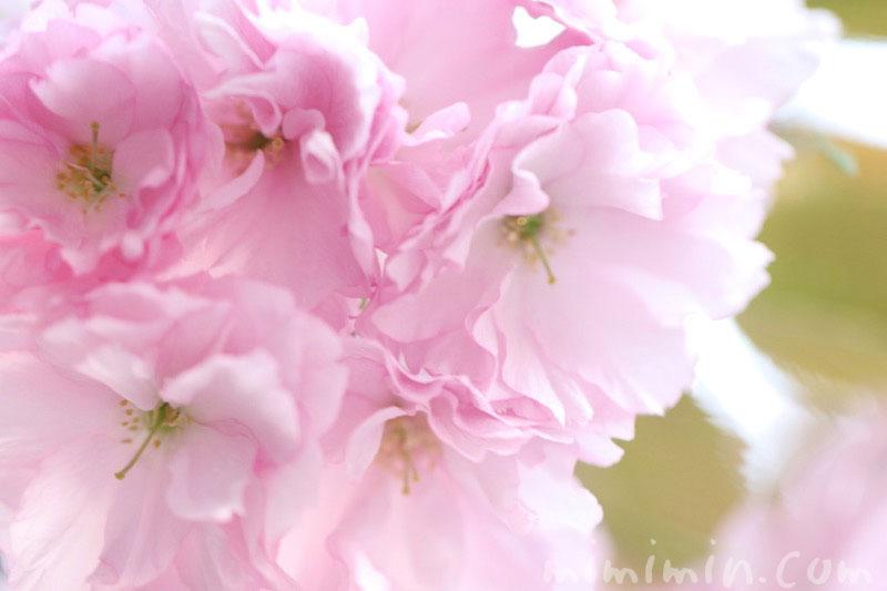 八重桜(ピンク)の画像