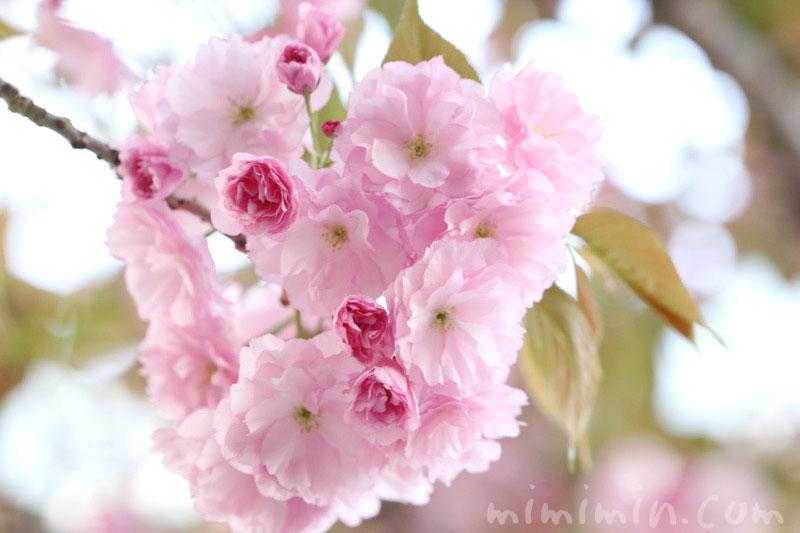 八重桜の花(ピンク)の画像