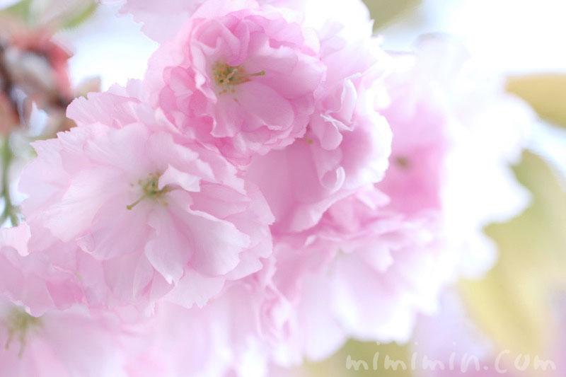 八重桜の花の写真