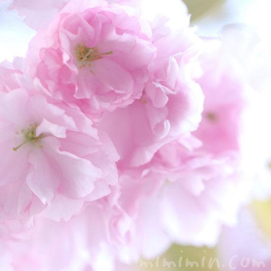 八重桜の花(ピンク)
