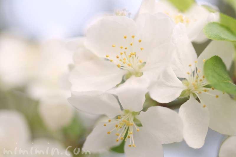 姫林檎の花の写真と花言葉の画像