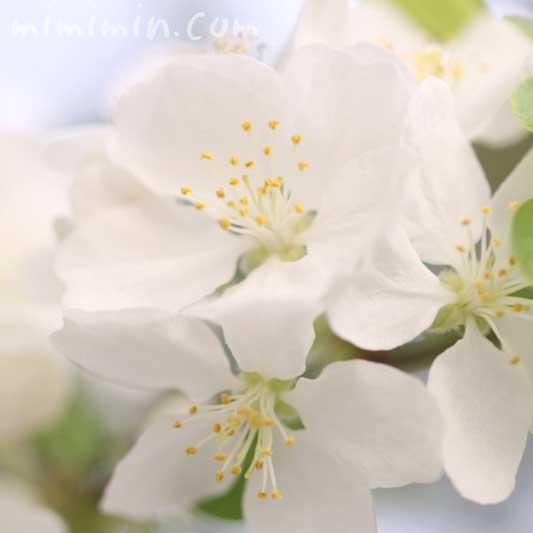 ヒメリンゴの写真・花言葉の画像