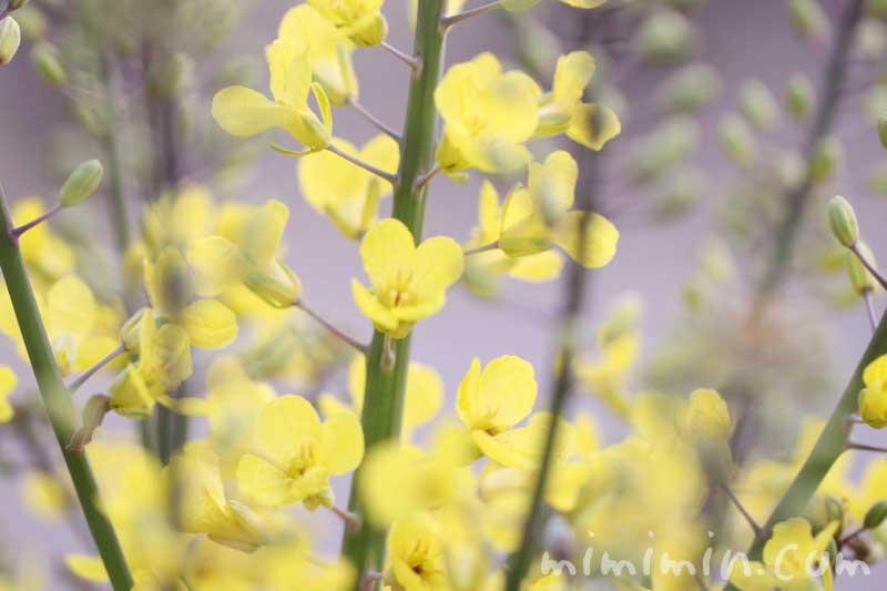 菜の花の写真・花言葉