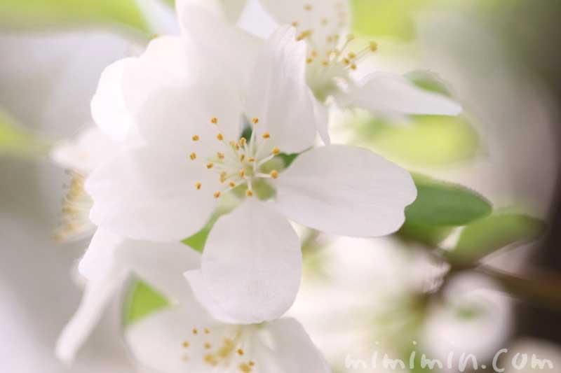姫リンゴの花の写真と花言葉