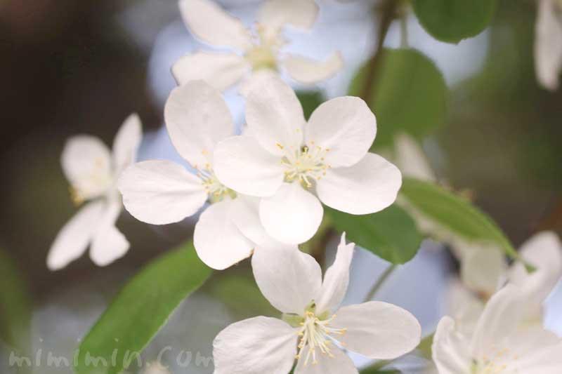 姫リンゴの花の写真・花言葉の画像