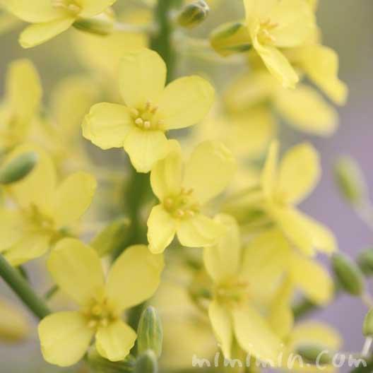 ナノハナの写真と花言葉の画像