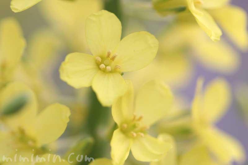 花菜の写真と花言葉の画像