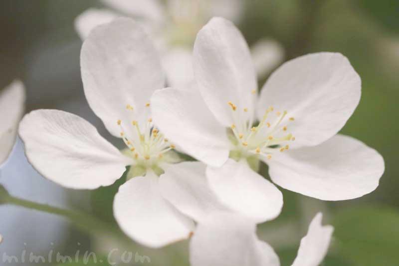 ヒメリンゴの花の写真と花言葉