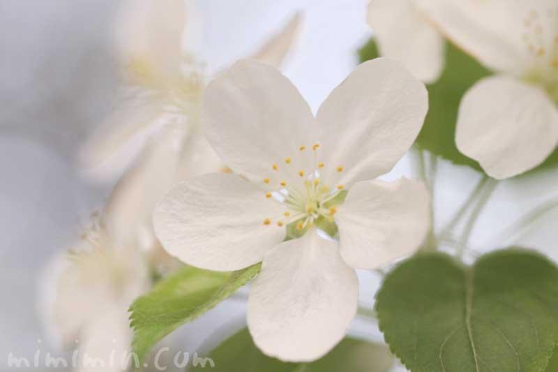 ヒメリンゴの花の写真・花言葉の画像