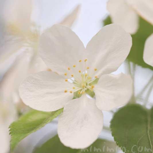 姫林檎の花の写真 花言葉