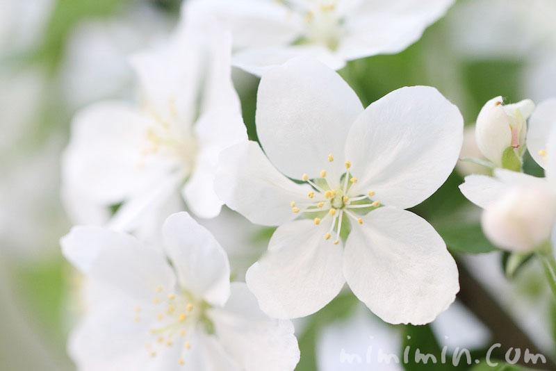 姫リンゴの写真