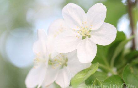 姫林檎の写真
