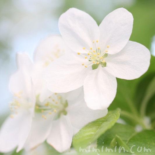 ヒメリンゴの花の写真