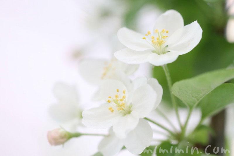姫林檎の花の写真