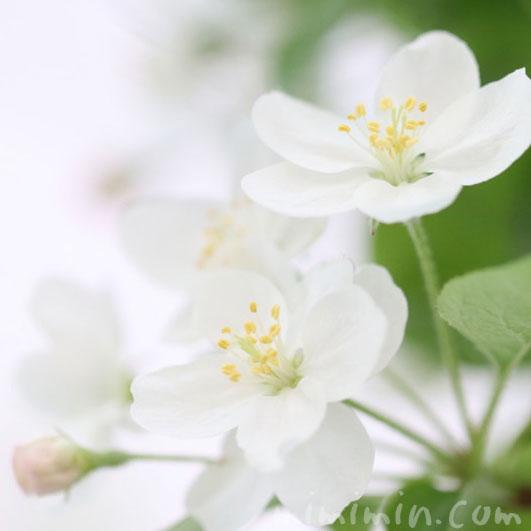 姫リンゴの花の画像