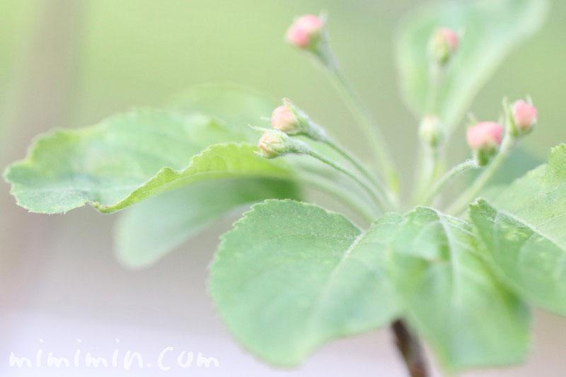 ヒメリンゴのつぼみの画像