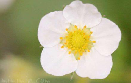 イチゴ(莓)の花の写真・花言葉の画像