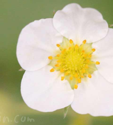 イチゴ(莓)の花の写真・花言葉・名前の由来