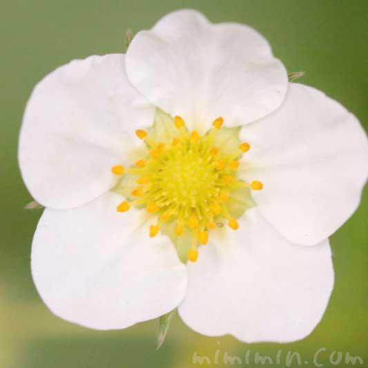イチゴ(莓)の写真・花言葉の画像