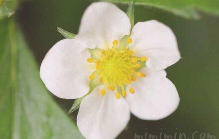 苺の花の写真と花言葉