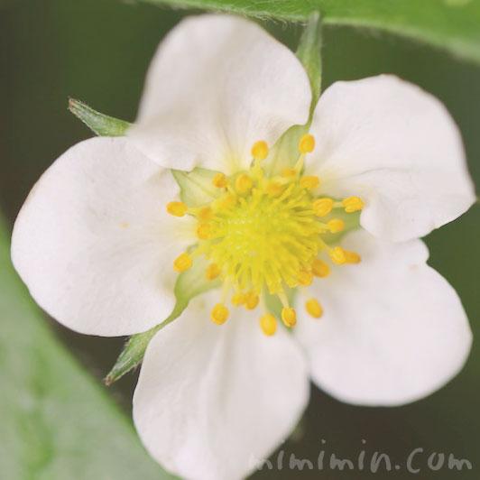 苺の花言葉