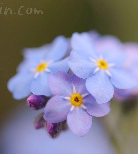 ワスレナグサ(勿忘草・忘れな草)の花の写真・花言葉・名前の由来