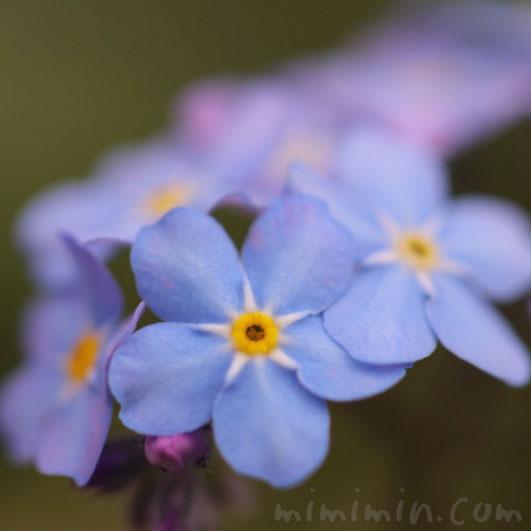 忘れな草の花の画像