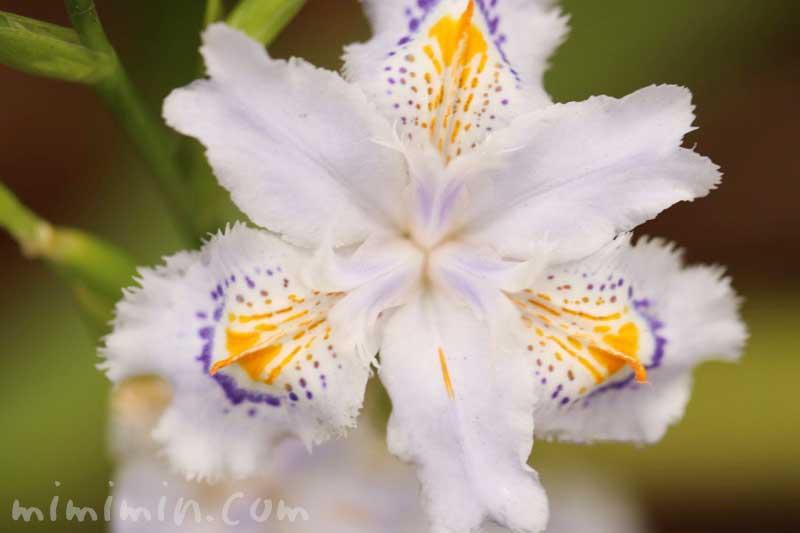 シャガの花の写真