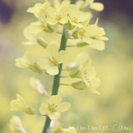 満開の菜の花(黄色)の画像・花言葉