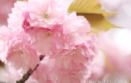 ヤエザクラの花の写真と花言葉の画像