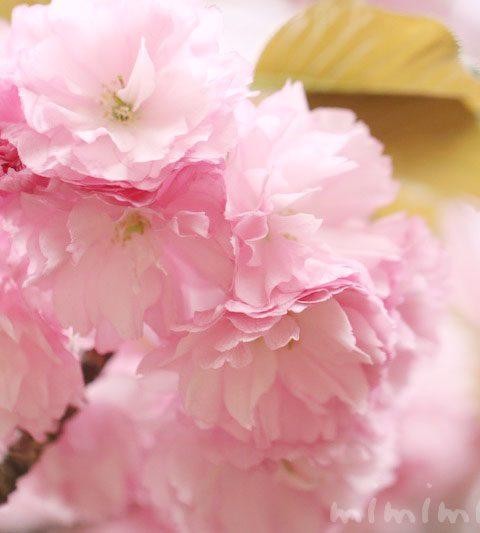 八重桜(ヤエザクラ)|花の写真・花言葉