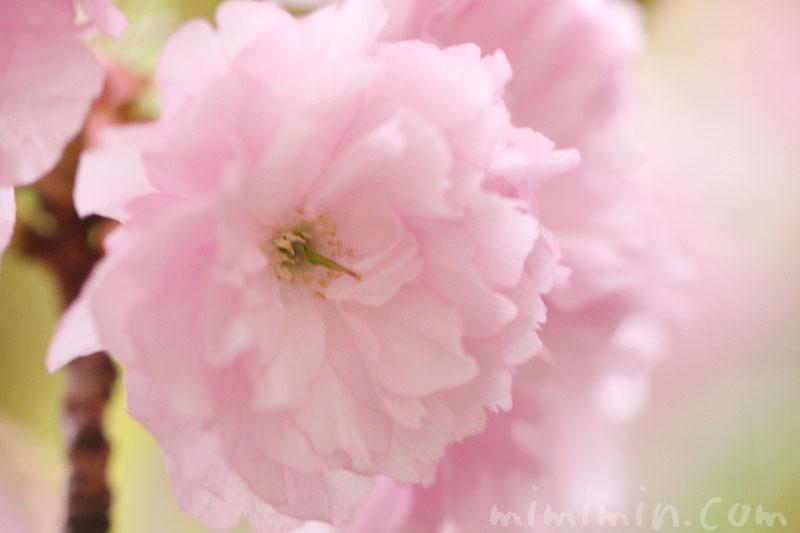 ヤエザクラの花言葉の画像