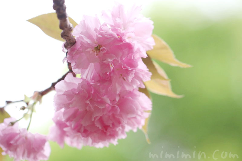八重桜の写真と花言葉