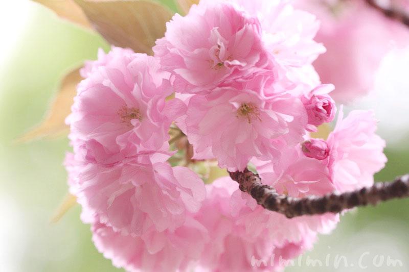 ヤエザクラの写真と花言葉