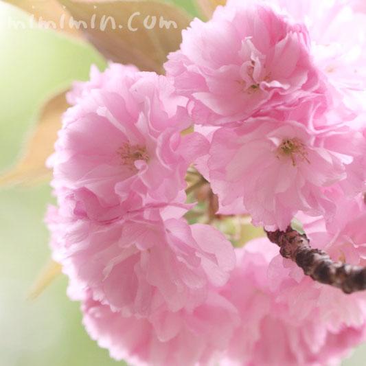 八重桜の花の写真と花言葉
