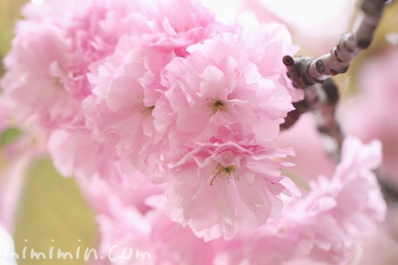 八重桜の写真と花言葉の画像