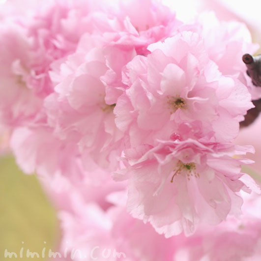 ヤエザクラの花の写真と花言葉