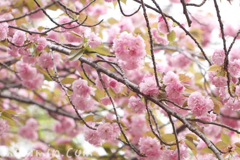 八重桜の花の写真と花言葉の画像