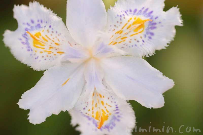 射干の花の写真と花言葉