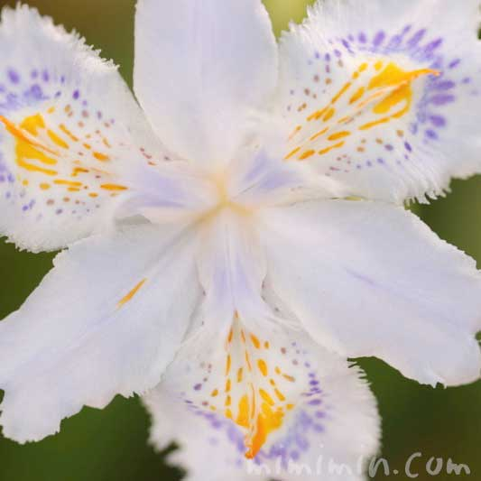 著莪の写真と花言葉