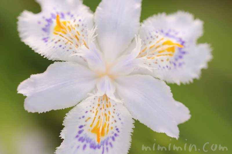 射干の花の写真・花言葉の画像