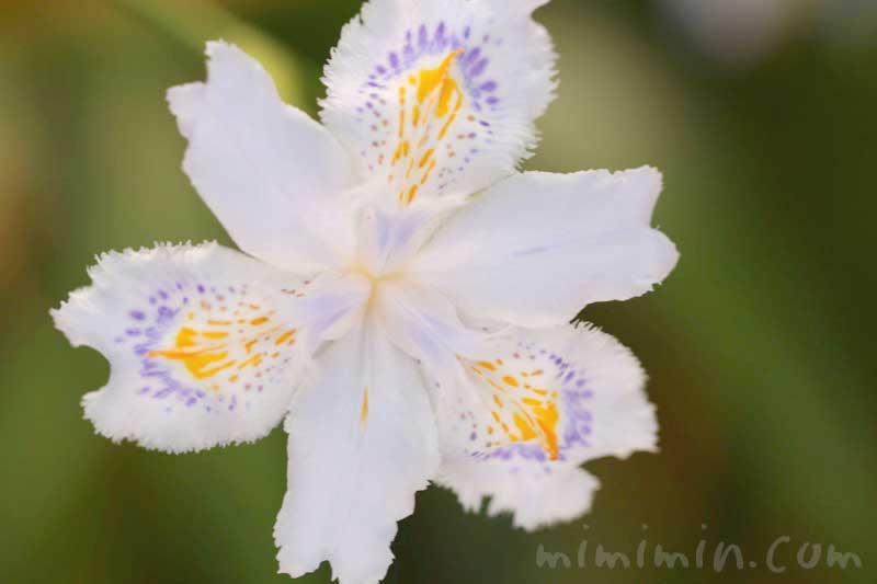 シャガの写真・花言葉の画像