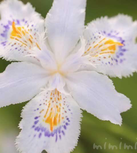 シャガ(射干・著莪)の花の写真・花言葉